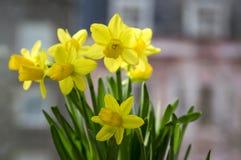 Pseudonarcissus Narcissus в цветени, желтых daffodils Стоковое Изображение