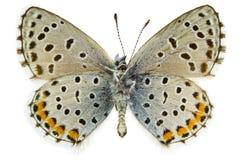 Pseudophilotes baton (Baton Blue) Royalty Free Stock Images