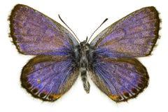 Pseudophilotes bavius (Bavius Blue). Dorsal view of Pseudophilotes bavius (Bavius Blue) butterfly isolated on white background royalty free stock photography