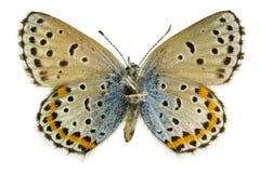 Pseudophilotes bavius (Bavius Blue). Ventral view of Pseudophilotes bavius (Bavius Blue) butterfly isolated on white background stock photos