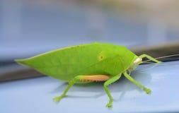 Pseudophyllus titans or giant leaf katydid giant leaf bug Royalty Free Stock Photo