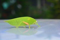 Pseudophyllus titans lub gigantycznego liścia katydid liścia gigantyczna pluskwa Fotografia Stock