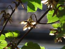 Pseudoplatanus de Acer do sicômoro com frutos fotos de stock