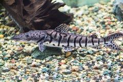 Pseudoplatystoma tiger , tiger catfish swims in a transparent aq. Uarium Stock Image