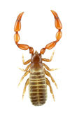 pseudoscorpion 库存图片