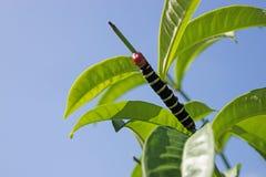 Pseudosphinx tetrio, colorful caterpillar Stock Image