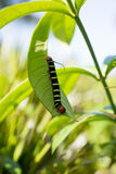 Pseudosphinx tetrio, colorful caterpillar Royalty Free Stock Photo