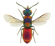 Pseudospinolia uniformis, a cuckoo wasp from Europe Royalty Free Stock Image