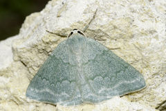 Pseudoterpna pruinata / Grass Emerald moth Stock Photography