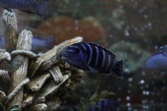 Pseudotropheus demasoni, Jeziorny Malawi Cichlid fotografia royalty free