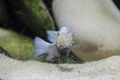 Pseudotropheus Kingsizei ( Cynotilapia Afra Pulpican ) Stock Photography