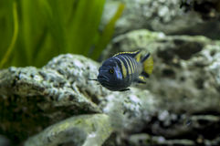 Pseudotropheus sp. Elongatus Chailosi royalty free stock photography