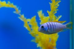 Pseudotropheuszebra van aquariumvissen stock foto's