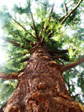 Pseudotsuga menziesii. Is the tree in the American Gargen in Chudenice, Czech republic. This tree in 165 years old Royalty Free Stock Photo