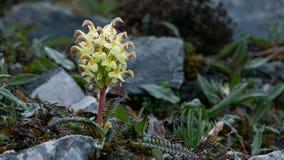 Pseudoversicolor di Scrophulariceae Pedicularis Immagini Stock