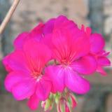 Pshycadelic紫红色的大竺葵花 库存照片