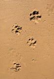 psi łapę na plaży druku piasku Obraz Royalty Free