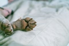 Psi łapy zakończenie Białego Bull terrier łapa na dywanie Makro- bielu psa łapa fotografia royalty free