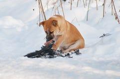 Psi łasowanie złapany ptak obraz stock