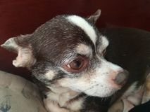 Psi śliczny zwierzęcia domowego czekania dom Zdjęcia Royalty Free