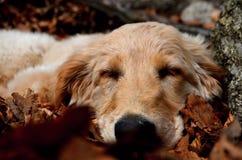 psi śpiący Zdjęcia Royalty Free