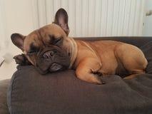 psi śpiący fotografia royalty free
