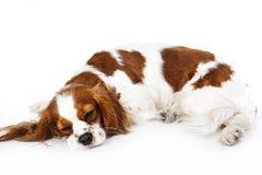 psi śpi Psi dosypianie w studiu Biały tło nonszalancki królewiątka Charles spaniela sen Zdjęcia Stock
