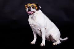 Psi amerykański buldog na czarnych tło szkłach włosianych obrazy royalty free