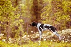 Psi angielski pointer zdjęcia stock