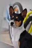 psi basenji portret Obrazy Stock