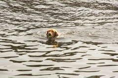Psi bawić się chwyt w wodzie zdjęcia royalty free