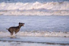 Psi bawić się na plaży zdjęcia royalty free