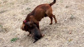 Psi bawić się z jej szczeniakiem zbiory
