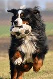 Psi bawić się z piłką Obrazy Royalty Free