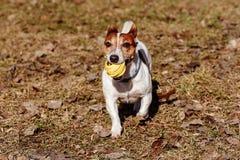 Psi bawić się z zabawkarską gumową piłką na ostatni rok starych liściach Obraz Royalty Free