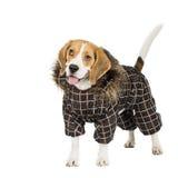Psi Beagle Zdjęcie Royalty Free