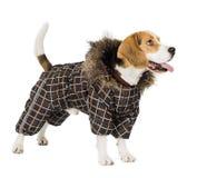 Psi Beagle Zdjęcia Royalty Free