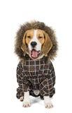 Psi Beagle Zdjęcia Stock