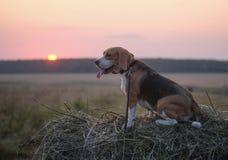 Psi Beagle na rolce siano przy zmierzchem Fotografia Royalty Free