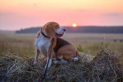 Psi Beagle na rolce siano przy zmierzchem Zdjęcia Royalty Free