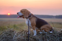 Psi Beagle na rolce siano przy zmierzchem Obraz Stock