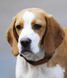 Psi Beagle portret Zdjęcie Stock