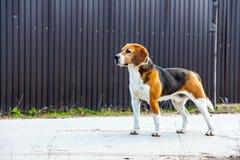 Psi beagle stoi z ukosa Obrazy Royalty Free