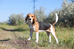 psi beagle szczeniak Obrazy Stock