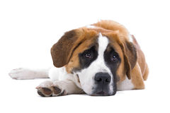 psi bernard święty Zdjęcie Stock