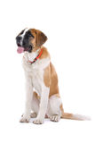 psi bernard święty Obrazy Stock