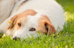 psi bezdomny Zdjęcia Stock
