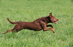 psi bieg Zdjęcie Royalty Free