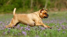 psi bieg fotografia stock