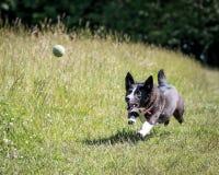 Psi bieg i Bawić się Obraz Stock